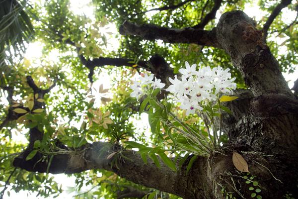 木々に着生させた蘭