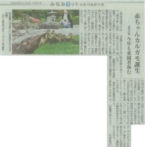 南日本新聞5月22日号にカルガモ親子が掲載されました