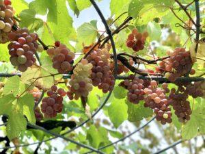 奄美の里 植物日記 葡萄だより4